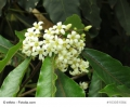 Pittosporum tobira Mock Orange Chinesischer Klebsamen 10 Samen