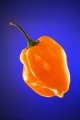 Scotch Bonnet orange 10 Samen