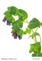 Cerinthe major purpurascens Blaue Wachsblume - Blue Shrimp Plant 5 Samen